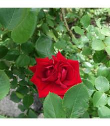 Růže popínavá červená - Rosa - prodej semen růží - semena - 5 ks