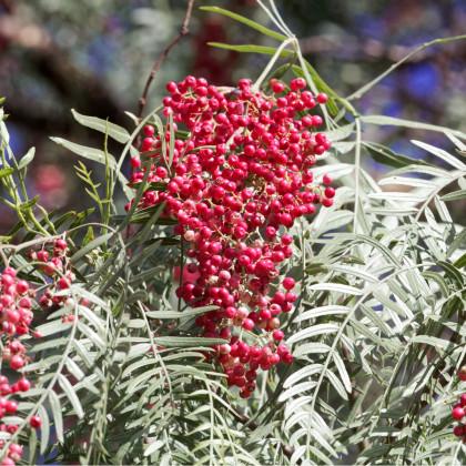 Pepřovec - rostlina Schinus molle - prodej semen pepřovce - 5 ks