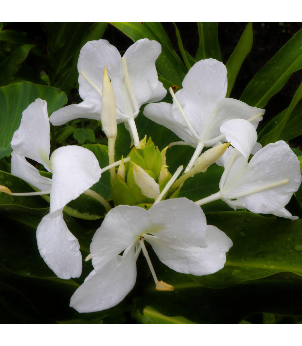 Bílý zázvor - Hedychium coronarium - prodej semen - 4 ks