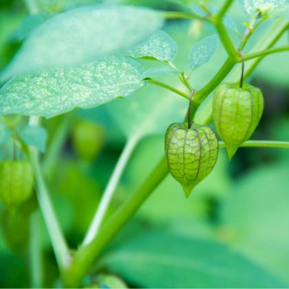 Mochyně peruánská - Physalis edulis - osivo mochyně - 10 ks