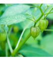 Mochyně peruánská semena - Physalis edulis - prodej semen - 10 ks