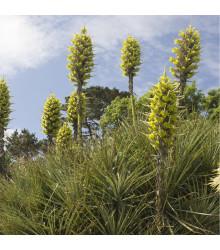 Puja Chilensis- semena- 5 ks