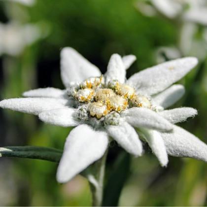 Protěž alpská - Plesnivec alpínský - Leontopodium alpinum - 15 ks