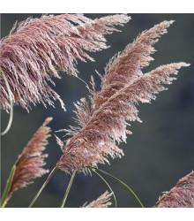 Pampová tráva růžová - Pampas - Cortaderia selleona - osivo pampasu - 10 ks