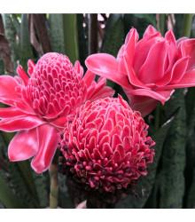 Zázvor růžový okrasný - Etlingera elatior - osivo zázvoru - 3 ks