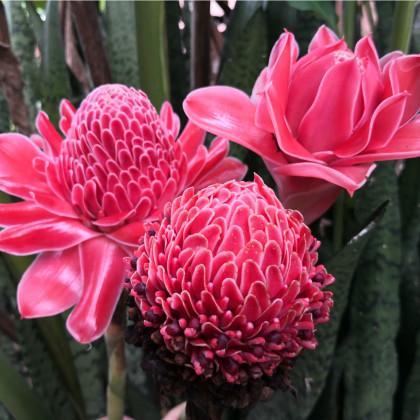 Zázvor růžový okrasný - etlingera elatior - semena - 3 ks