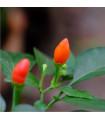 Chilli Tepin - Capsicum Annuum - semena - 7 ks