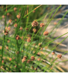 Ozdobná tráva - Fïcinia nodosa - osivo ozdobné trávy - 10 ks