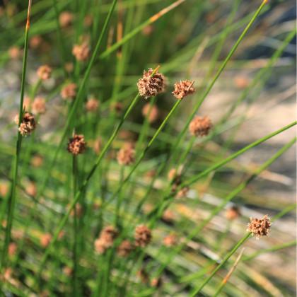 Ozdobná tráva FIcinia nodosa - prodej semen ozdobné trávy - 10 ks