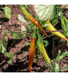 Chilli maďarský vosk - prodej semen chilli papriček - 6 ks