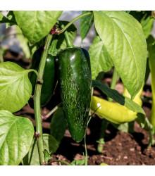More about Chilli Chichimeca - semena - 6 ks