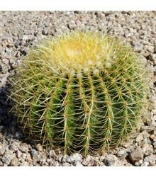 Ferokaktus - Ferocactus chrysacanthus - osivo kaktusu - 6 ks