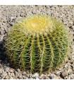 Ferokaktus- Ferocactus- semena Ferokaktusu- 6 ks