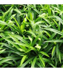 Palmová tráva - Setaria palmifolia - prodej semen - 10 Ks