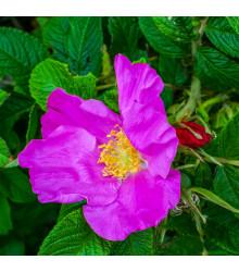 More about Růže svraskalá - Rosa rugosa - osivo růže - 5 ks