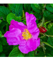 Růže svraskalá - Rosa rugosa - prodej růží - semena - 5 ks