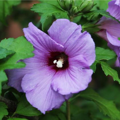 Ibišek syrský fialový - Hibiscus syriacus - prodej semen ibišku - 12 ks
