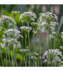 Pažitka česneková - Allium Tuberosum - osivo pažitky - 200 ks