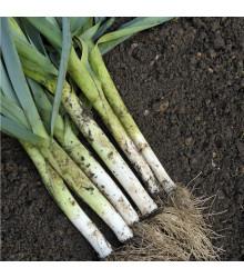 Pór zimní - Allium porrum - Pór D´Elbeuf- semena póru - 200 ks