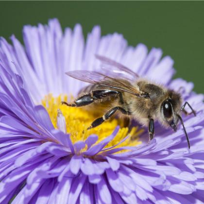 Medonosné květy pro včely - semena medonosných květů pro včely - 10 g