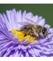 Medonosné květy pro včely- semena medonosnýck květů pro včely- 10 gr
