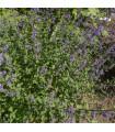 Šanta kočičí- Nepeta cataria- semena šanty- 15 ks