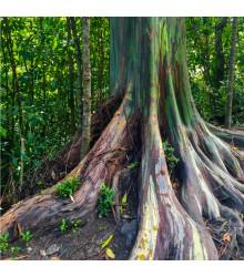 Eukalyptus duhový - Eucalyptus deglupta - prodej semínek - 5 ks