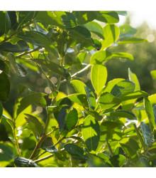 More about Cesmína paraguayská - Mathé - Ilex paraguariensis - semena Cesmíny - 6 ks