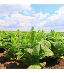 More about Tabák Kentucky - rostlina Nicotiana tabacum - semena tabáku - 20 ks