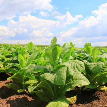 Tabák Kentucky - rostlina Nicotiana tabacum - semena tabáku - 20 ks