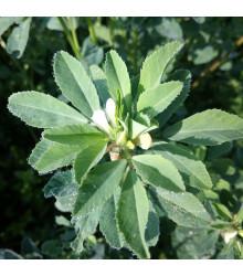 Pískavice - Trigonella foenum-graecum - semena pískovice - 150 ks
