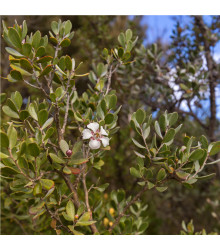 Woolly Tea-Tree - Leptospermum Lanigerum - 20 ks