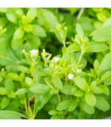 Stévie sladká - semena Stévie - Stevia rebaudiana - 15 ks