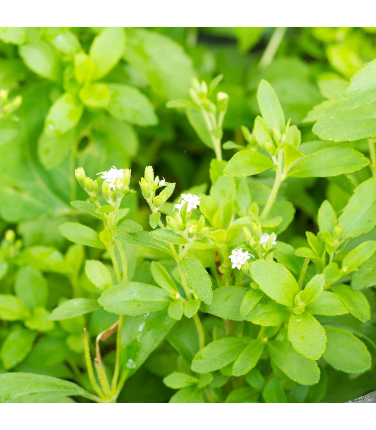 Stévie sladká - Stevia rebaudiana - osivo stévie - 15 ks