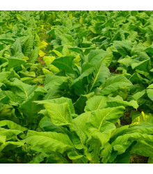 More about Tabák Burley - rostlina Nicotiana tabacum - semena tabáku - 20 ks