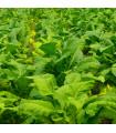Tabák Burley - rostlina Nicotiana tabacum - semena tabáku - 20 ks