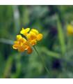 Štírovník růžkatý - rostlina Lotus corniculatus - prodej semen - 2 gr
