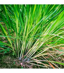 Citronová tráva - Voňatka - Cymbopogon flexuosus - osivo citrónové trávy - 20 ks