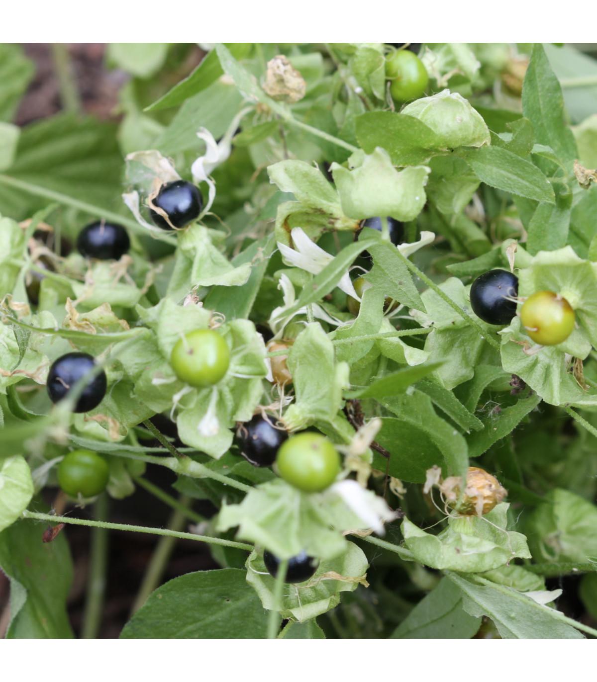 Rulík zlomocný - Atropa belladonna - osivo rulíku - 10 ks
