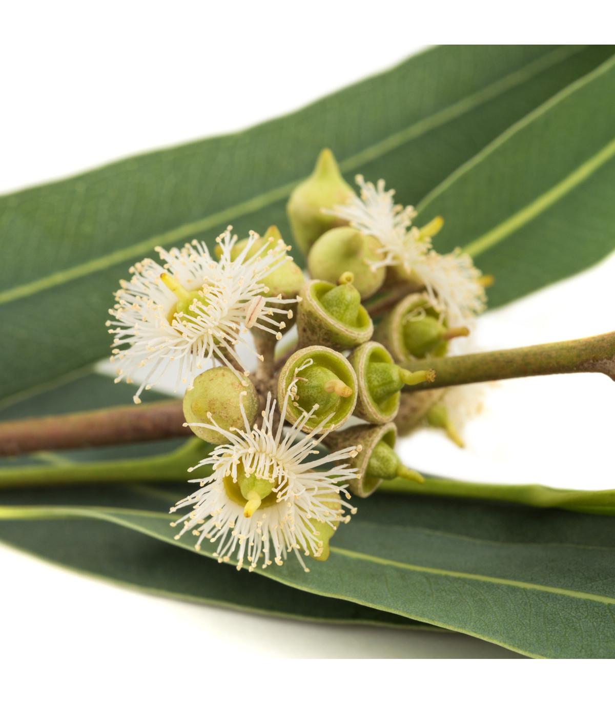 Eukalyptus Alba - semena eukalyptu - 9 ks