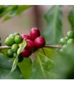 Kávovník arabský- semena Kávovníku- 5 ks