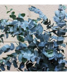 More about Eukalyptus guni - Eucalyptus gunnii - semena eukalyptu - 10 ks