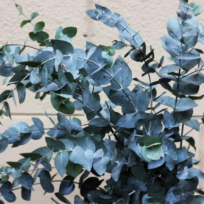 Eukalyptus guni - Eucalyptus gunnii - semena eukalyptu - 10 ks