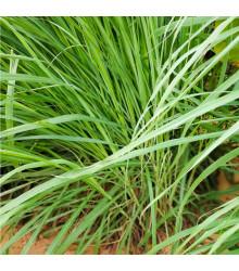 More about Citronová tráva - Cymbopogon citratus - semena citrónové trávy - 20 ks