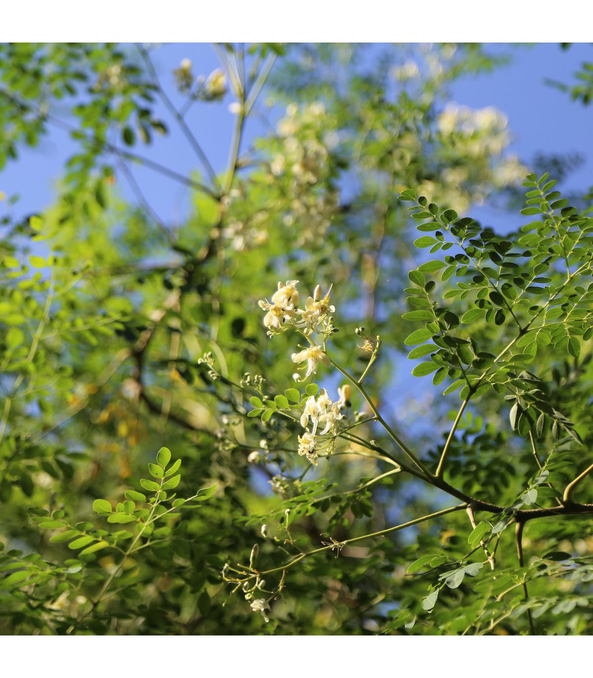 Moringa olejodárná - Moringa oleifera - semena Moringy - 4 ks