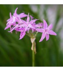 Česneková tráva - Tulbaghia violacea - semena česnekové trávy - 5 ks