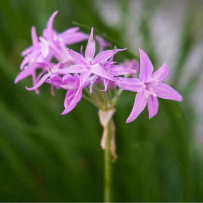 Česneková tráva- Tulbaghia violacea- semena česnekové trávy- 4 ks