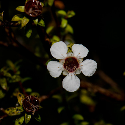 Tea tree- Leptospermum rotundifolium- semena- 12 ks