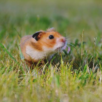 Tráva pro křečky - Křečkova zahrádka - semena trávy - 2g