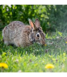 Tráva pro králíky - osivo Golden Line - směs - 15 g